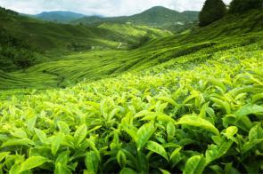 خواص چای سبز برای سلامتی و لاغری