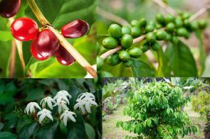 تاثیر قهوه برای سلامتی بدن و لاغری